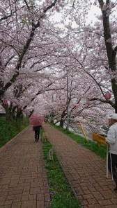 美祢市桜①