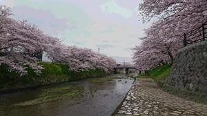 美祢市桜②